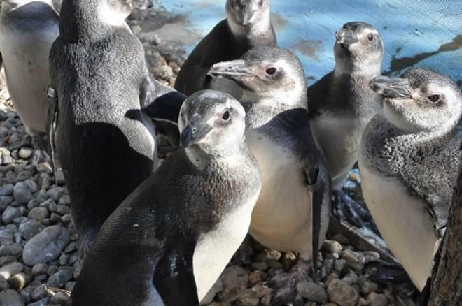 Pinguins começam a chegar às praias catarinenses