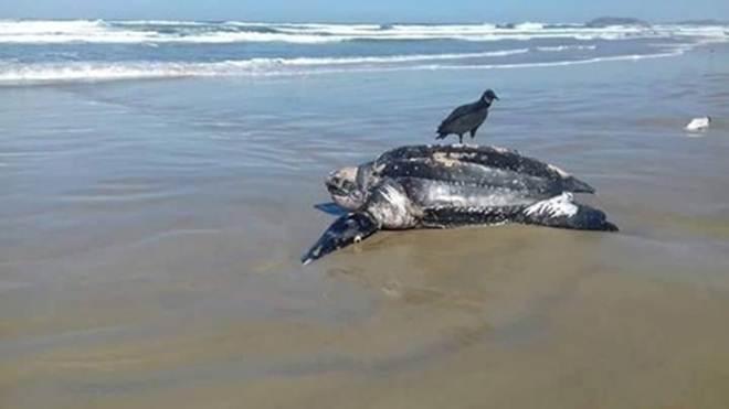 Tartaruga de 300 quilos aparece em praia de Laguna, SC