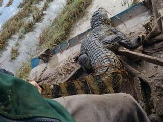 Jacaré pode ter aparecido em plantação de arroz em Meleiro, SC