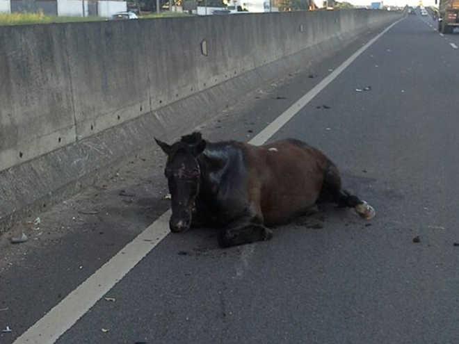 Cavalo solto na pista é atropelado em rodovia de Araçatuba, SP