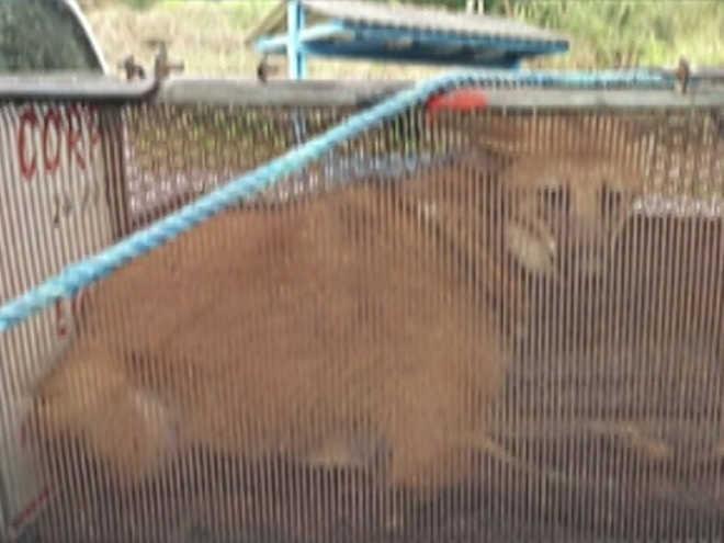 Lobo-guará é resgatado de chácara de Arujá (SP) pela Polícia Ambiental