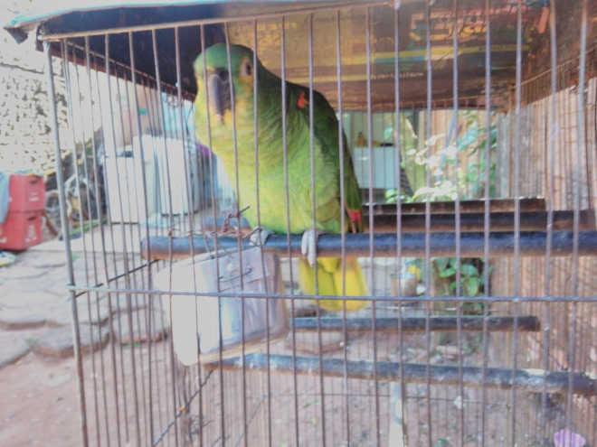 Polícia Militar Ambiental resgata pássaro nativo de cativeiro ilegal em Assis, SP