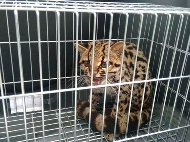 Leopardo entra em supermercado em Iguape, SP, e assusta os clientes