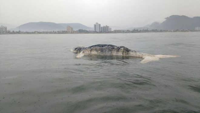 Baleia jubarte é encontrada morta em praia de Mongaguá, SP