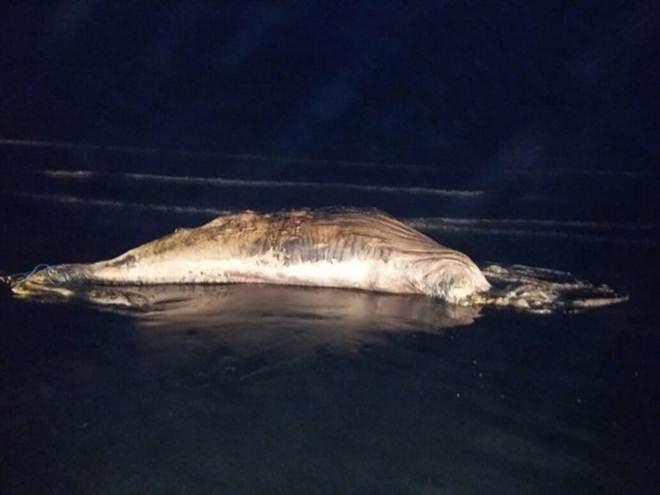 Filhote de baleia achado em Peruíbe, SP, é o 10º a aparecer morto em SP