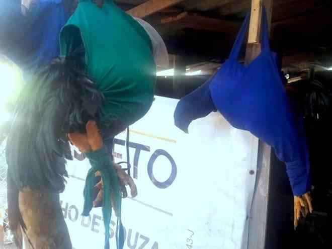 Polícia detém 13 pessoas em rinha de galo em Piracicaba (SP); 1 ave morreu