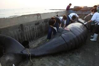 Baleia encontrada em Santos (SP) morreu por asfixia