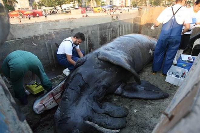 Baixada Santista (SP) teve 6 encalhes de baleia este ano, diz Gremar