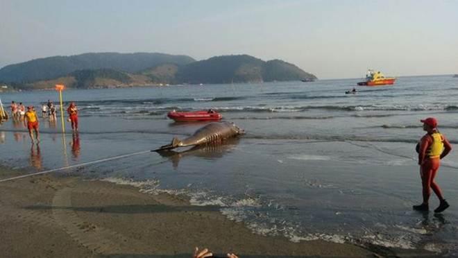 Filhote de baleia morre e encalha na Ponta da Praia, em Santos, SP