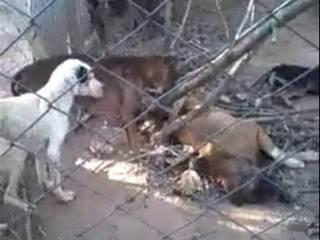 Cães passam fome e comem outros cachorros mortos em Votuporanga, SP
