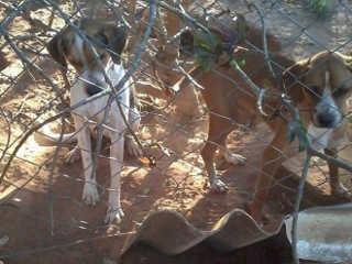 Tutor de cães que se alimentavam de outros cachorros mortos é multado em R$ 36 mil reais