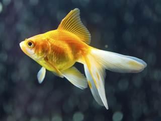 Você pode ser preso por ter um peixinho dourado em casa na Suíça