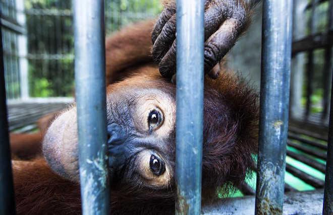 Um olhar deste orangotango órfão fará você desistir do azeite de dendê para o bem