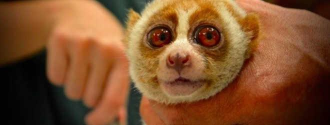 Primata tem os dentes arrancados para parecer 'mais fofo' em selfies com turistas