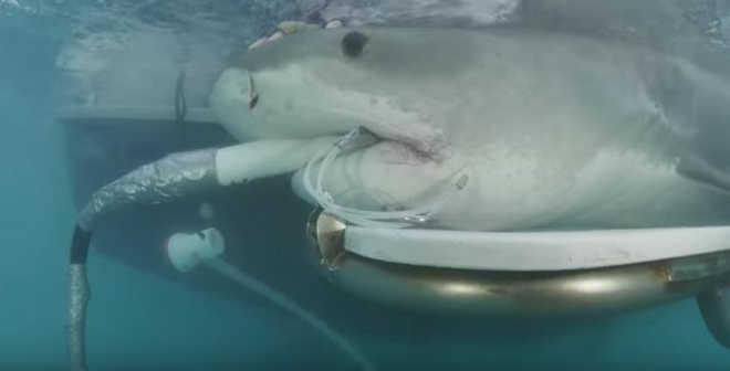 Primeiro ultrassom em tubarão-tigre no mundo revela MUITOS bebês