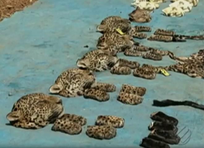 Polícia investiga tráfico internacional de animais silvestres em Curionópolis, PA