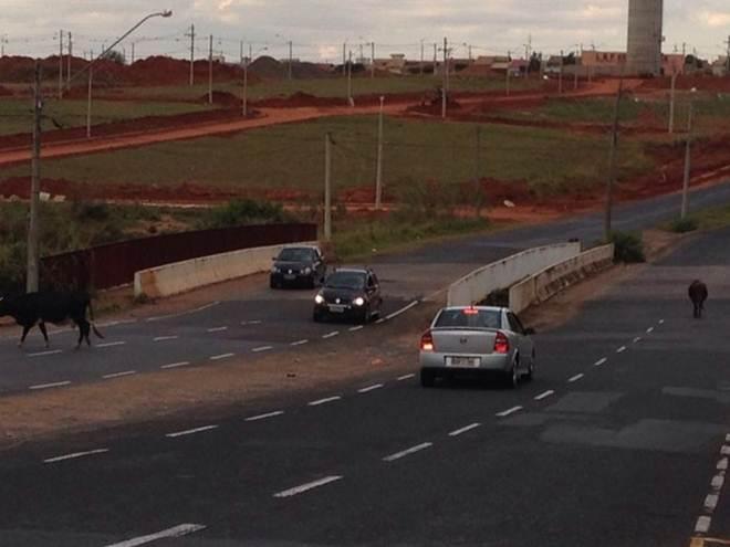 Motoristas flagram animais soltos em avenida de Rio Preto, SP