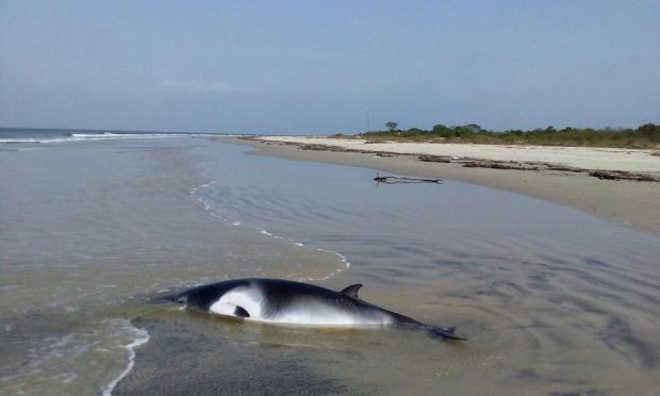 Filhote de baleia morre na praia de Pontal do Paraná, PR