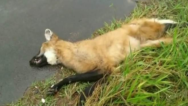 Lobo-guará é encontrado morto após atropelamento em rodovia de Iacanga, SP