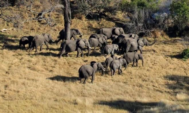População de elefantes na África caiu 30% em sete anos, diz Censo