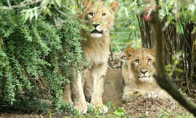 Outra vítima: Leão é morto após fugir de recinto em zoológico na Alemanha