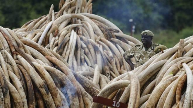 Dois angolanos detidos no sul do país por tráfico de marfim e abate de elefantes