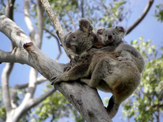 200 coalas serão mortos por causa de uma rodovia australiana