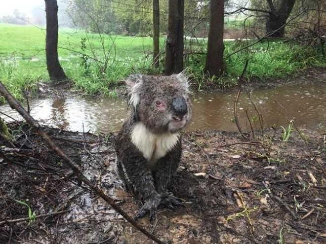 Homem ajuda coala ensopado a ficar em segurança durante inundação
