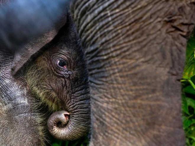 Estamos causando a extinção dos elefantes de Sumatra ao comer – o que você pode fazer para salvar esta espécie ameaçada
