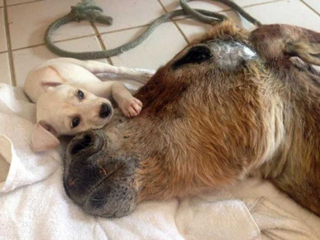 Cachorrinha adorável intervém para ajudar burro ferido a ficar de pé novamente!