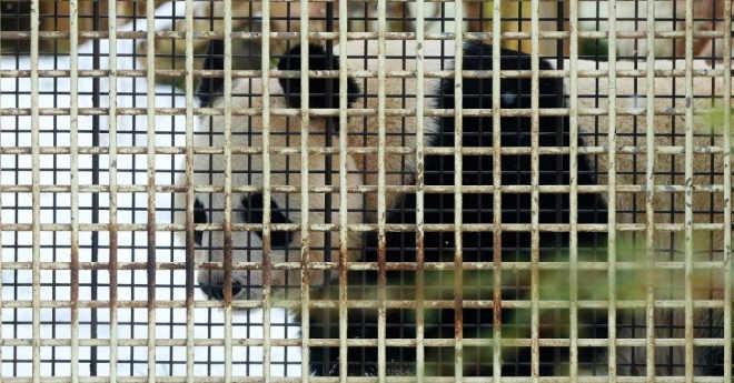 China aposta na reprodução em cativeiro dos pandas, ainda vulneráveis