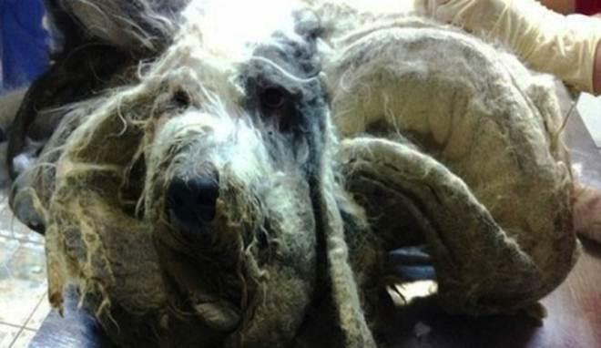 Cão abandonado numa cozinha fica irreconhecível depois de cortarem 4 sacos de lixo cheios de pelo