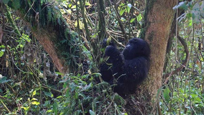 Os maiores gorilas do mundo estão a 'um passo de serem extintos'