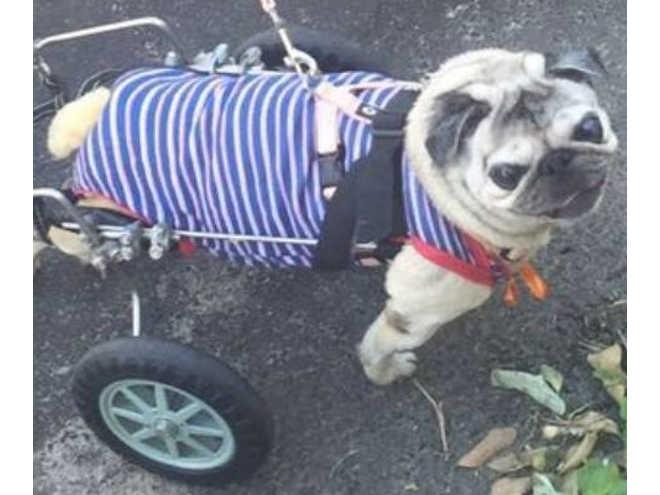 Cadela paraplégica é resgatada em Vitória (ES) e precisa de ajuda para exames