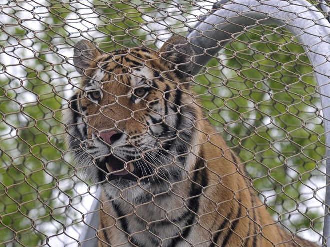 Tratadora de animais morta por tigre depois de entrar em jaula