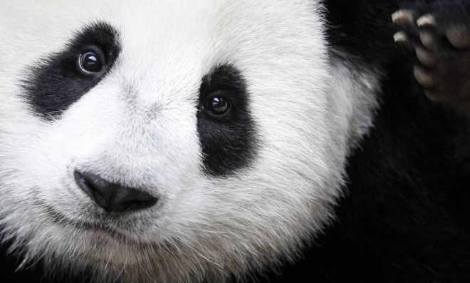 Panda gigante é retirado da lista de animais em risco de extinção