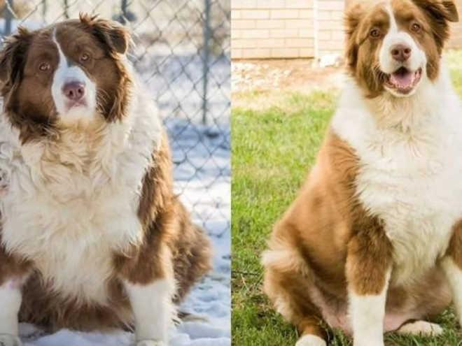 Cadela obesa é resgatada, perde 25kg e ganha um novo lar