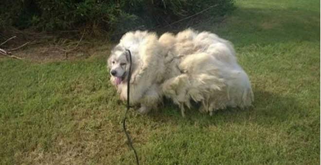 Cachorro que viveu seis anos em celeiro é libertado e perde quase 16 kg de pelos após tosa