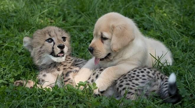 Chita e cachorro são melhores amigos improváveis