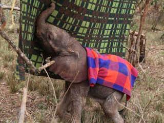 Este elefante bebê não tem mãe, então agora ele tem um cobertor ao qual se aconchegar