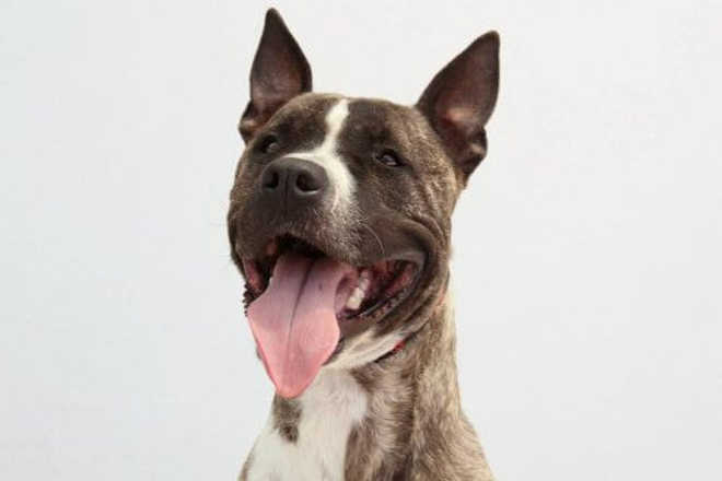 Ecoy, o cachorro sequestrado e usado para rinhas, à procura de um lar