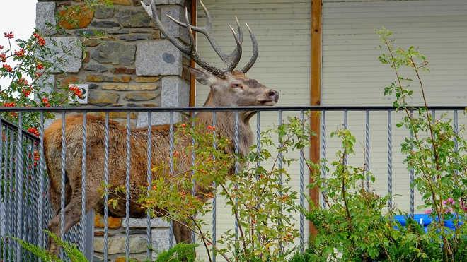 Cervo se abriga em varanda residencial para fugir de caçadores
