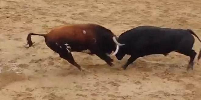 Touros morrem instantaneamente após colidirem um contra o outro na Espanha