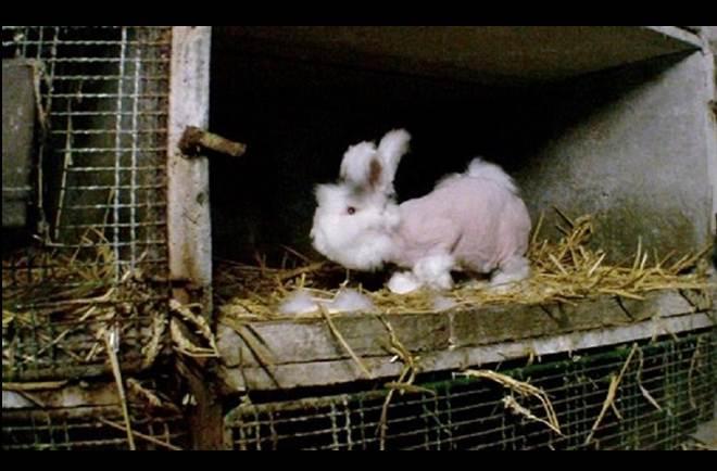 França arranca pelo a coelhos vivos para produção