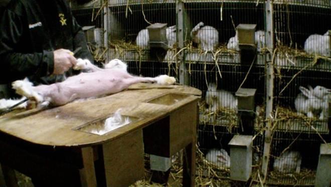 Associação francesa pede proibição da comércio do coelho angorá