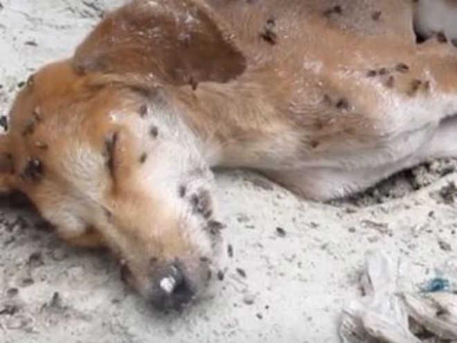 Até as moscas achavam que cachorro vítima de maus-tratos estava morto