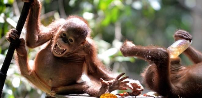 Escola animal: orangotangos têm aula para aprender a viver na selva