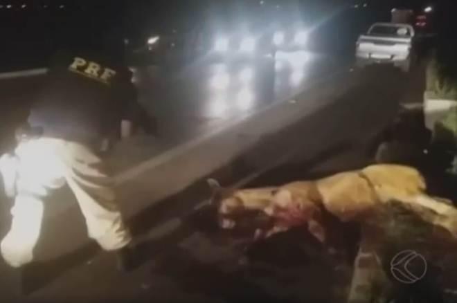 Vídeo mostra policial sacrificando cavalo na BR-365 em MG
