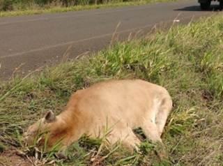 Sem resgate, onça-parda morre após ser atropelada em rodovia de MS
