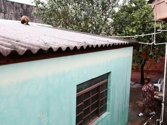Quati sobe em telhado e bombeiros são acionados para ajudar na captura em Campo Grande, MS